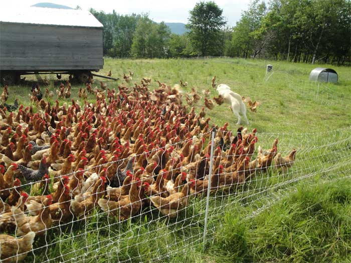 you have about 500 best friends when its morning or afternoon feeding time with the chickens...when they see you walking over the electric fence with a feed bag they mob you like crazy.  you literally have to start kicking at em to get them to move or you'll be tripping all over the place(and if you drop the feed bag, they start pecking at it and sometimes poking holes in it....